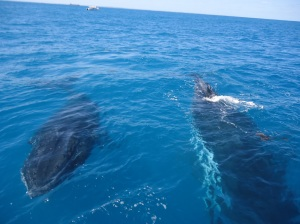Both whales swimming towards the boat