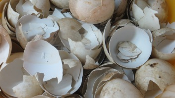 Duck egg shells they use