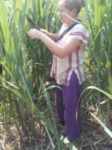 Happy Elephant Home- cutting down the sugar cane
