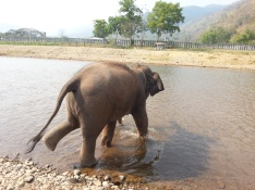 Happy Elephant Home- running into the water